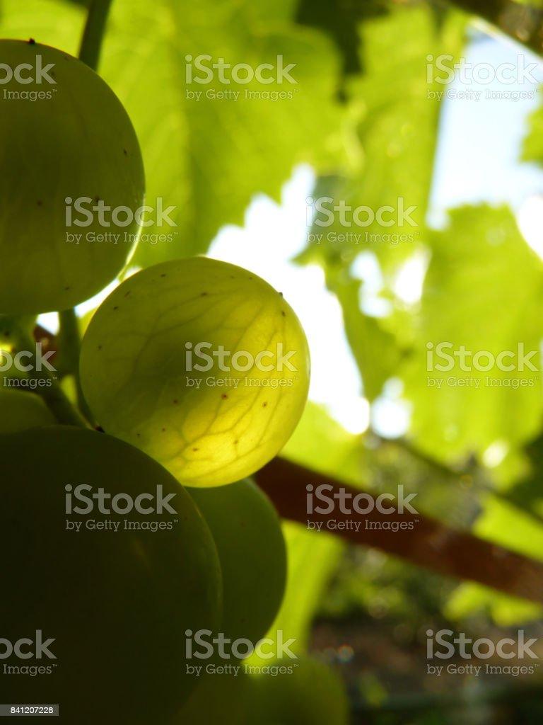 Close Up of Ripe Grape Cluster on Vine stock photo