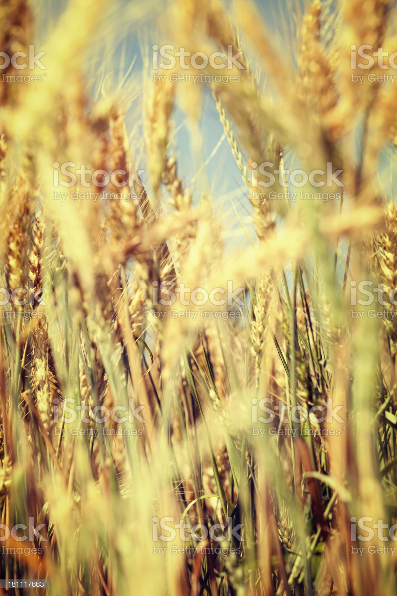Close up of ripe wheat field on sunny day royalty-free stock photo