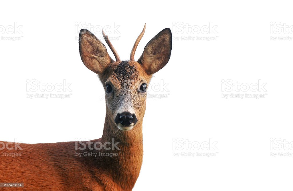 Close up of roe deer, isolated on white stock photo
