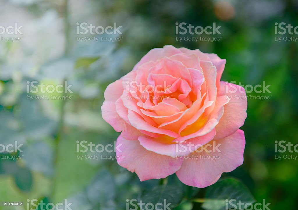 Close up of rose flower stock photo