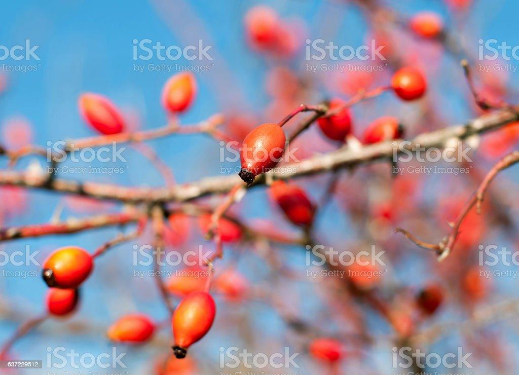 Close up of rose hips fruit stock photo