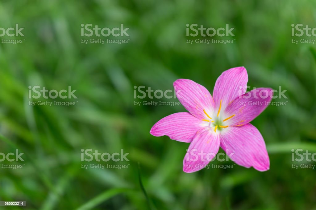 Close up of rosy pink rain lily, Cuban zephyrlily or Zephyranthes rosea with beautiful green background stock photo