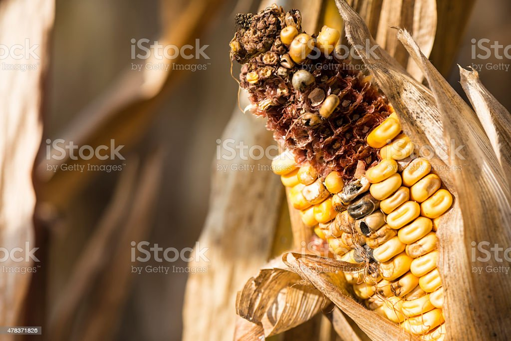 Close up of rotten corn cob on the field stock photo
