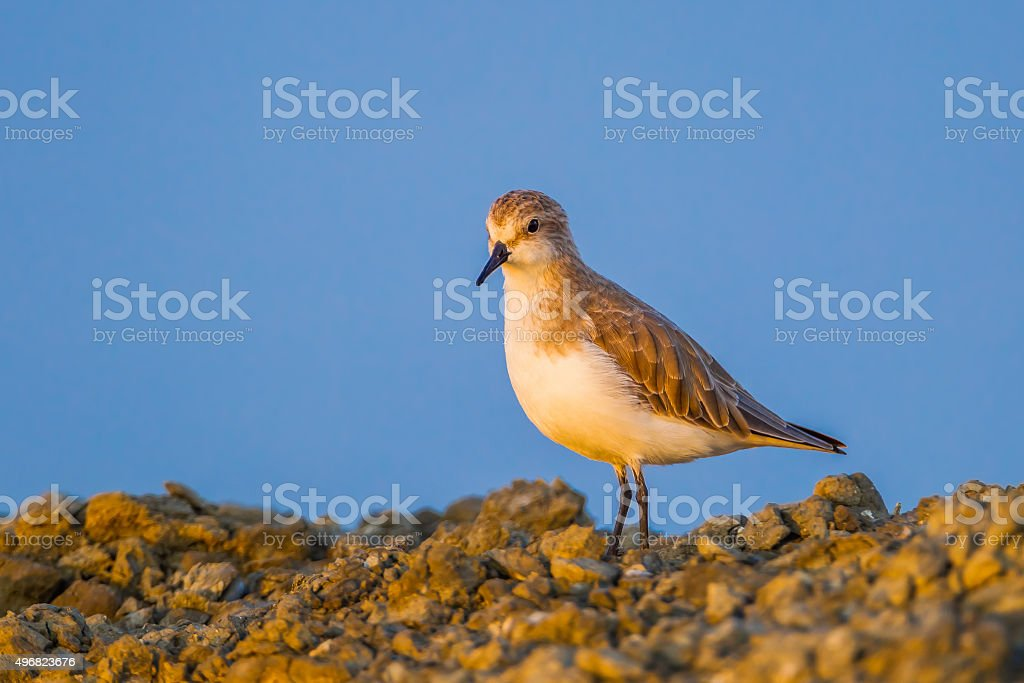 Close up of Rufous-necked Stint stock photo
