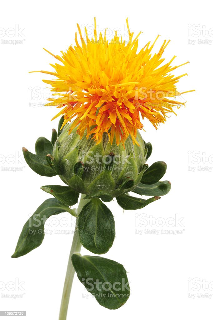 Close up of safflower royalty-free stock photo