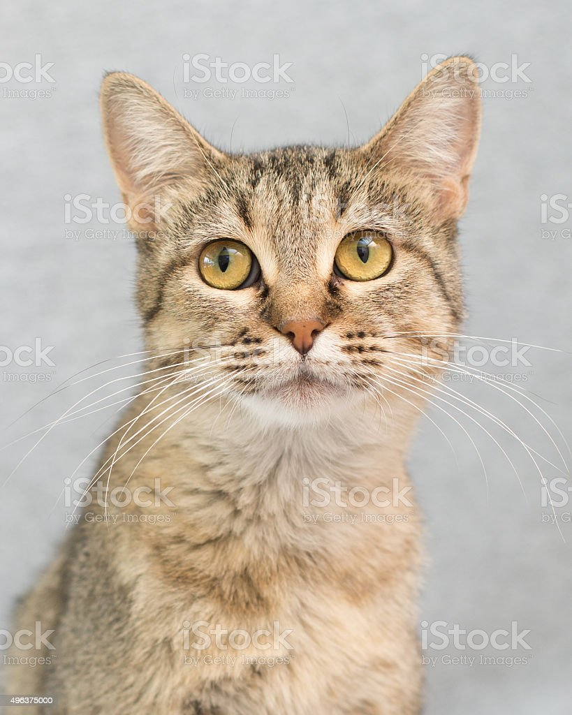 Close up of sandy colored cat stock photo