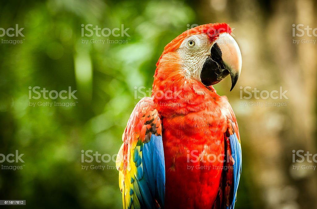 Close up of scarlet macaw parrot stock photo