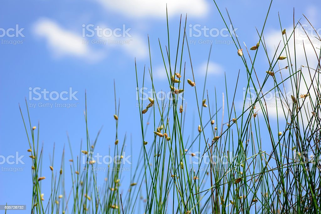 Close up of  Schoenoplectus flower stock photo