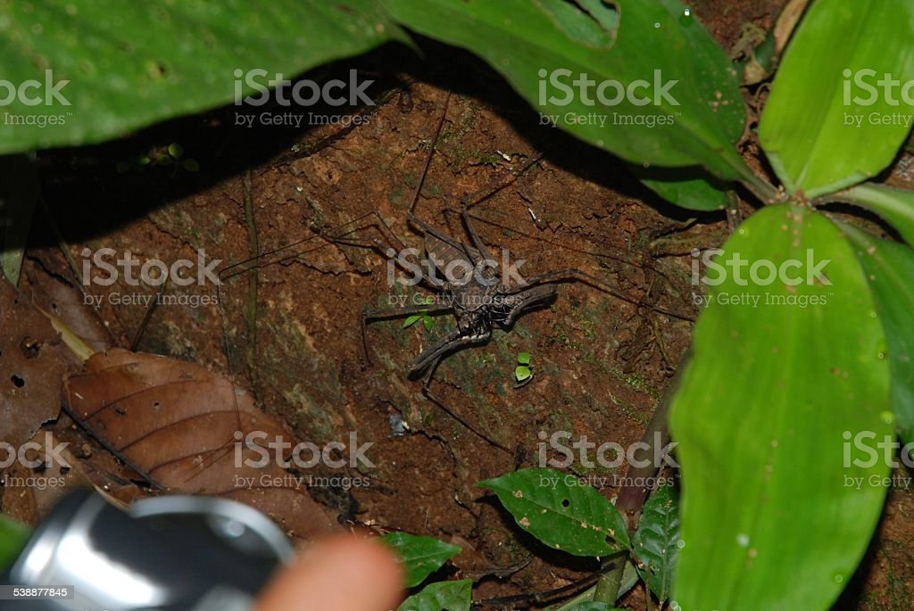 Close Up of Scorpian Spider in the Amazon Rainforest royalty-free stock photo
