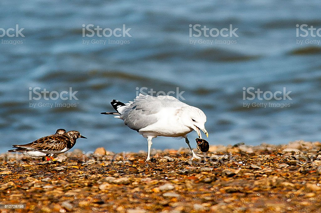 Close up of Seagull Breaking Mussels to feed stock photo