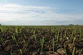 Close up of seedlings in crop field