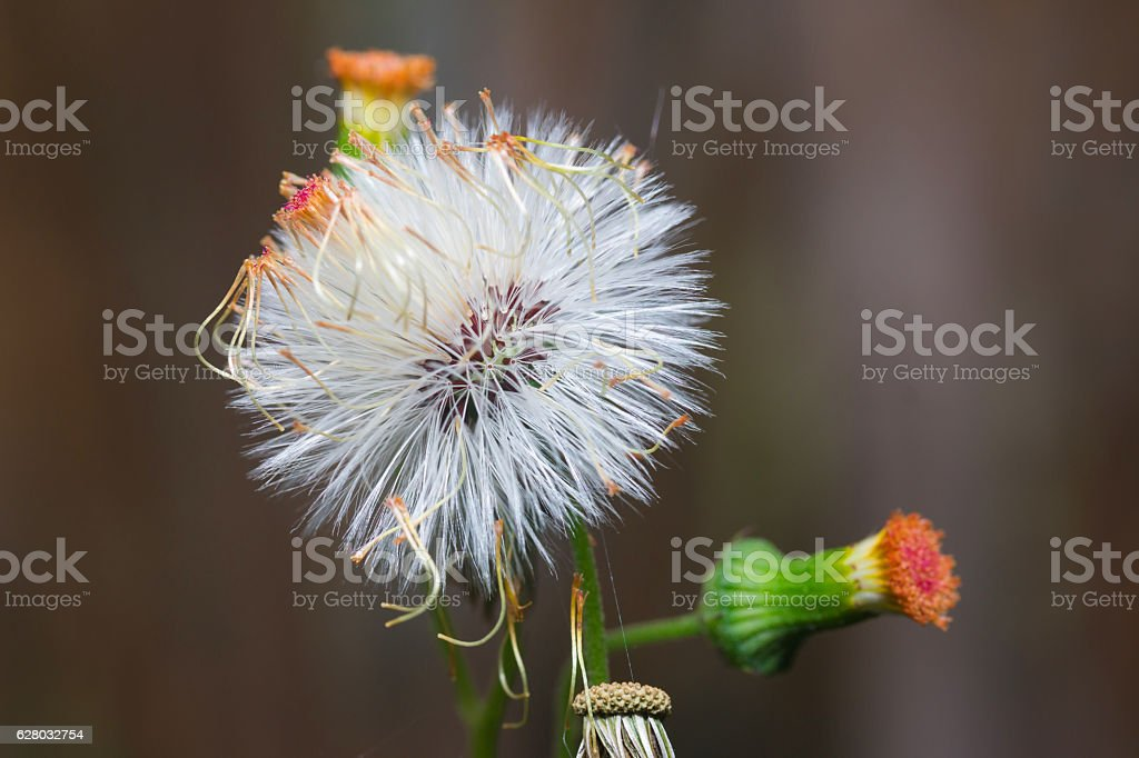 Close up of Sensitive plant or mimosa pudica plant stock photo