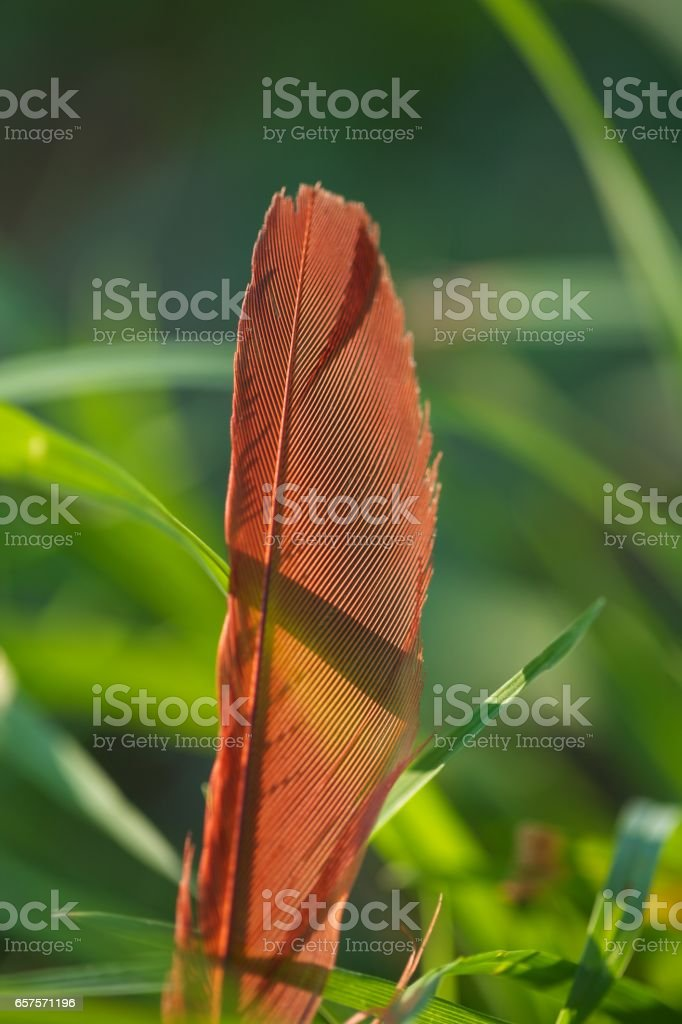 Close up of single cardinal feather in shadow stock photo