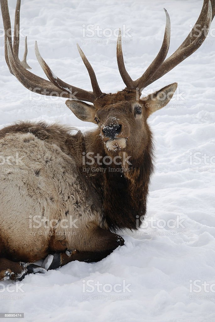 Close Up  of  Single Elk in Wyoming royalty-free stock photo