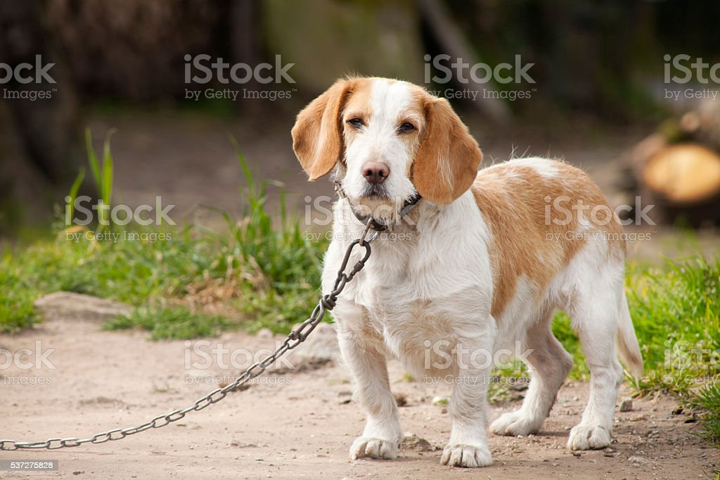 Close up of small dog, collar and chain as leash. stock photo