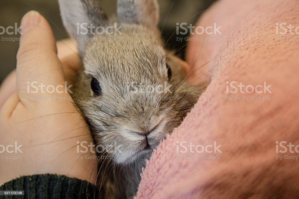 Close up of  small gray bunny sitting on girl lap stock photo