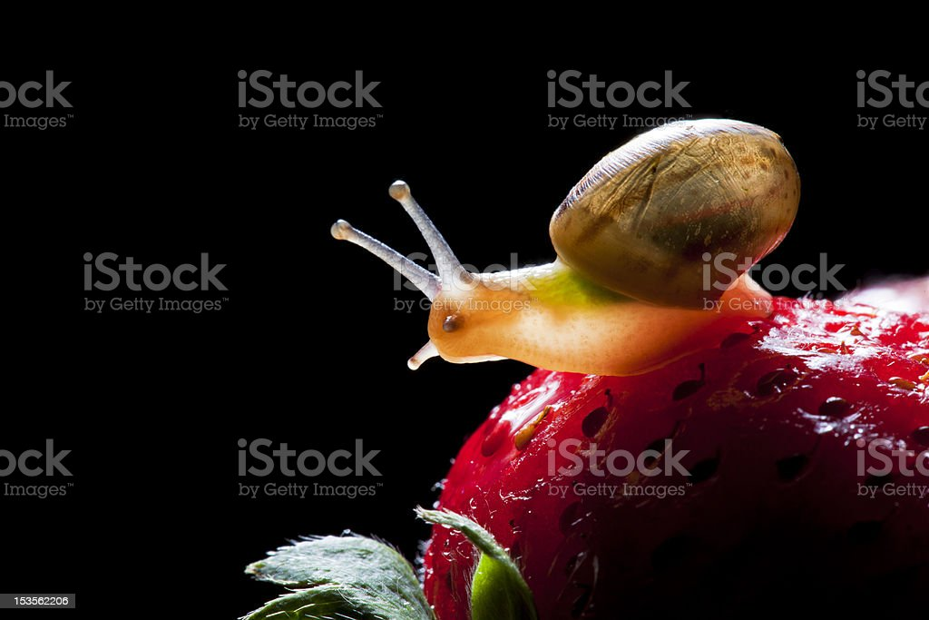 close up of small snail on strawberry royalty-free stock photo