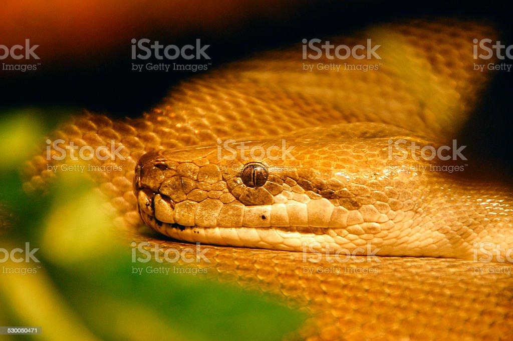 Close up of snake head,  Python stock photo
