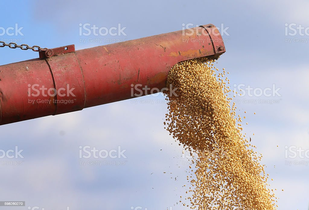 Close up of soybean harvest stock photo