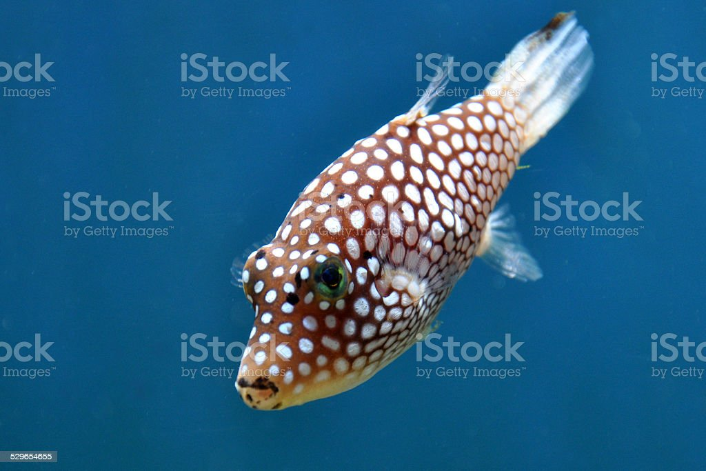 Close up of Spotted Puffer fish in clear blue water stock photo