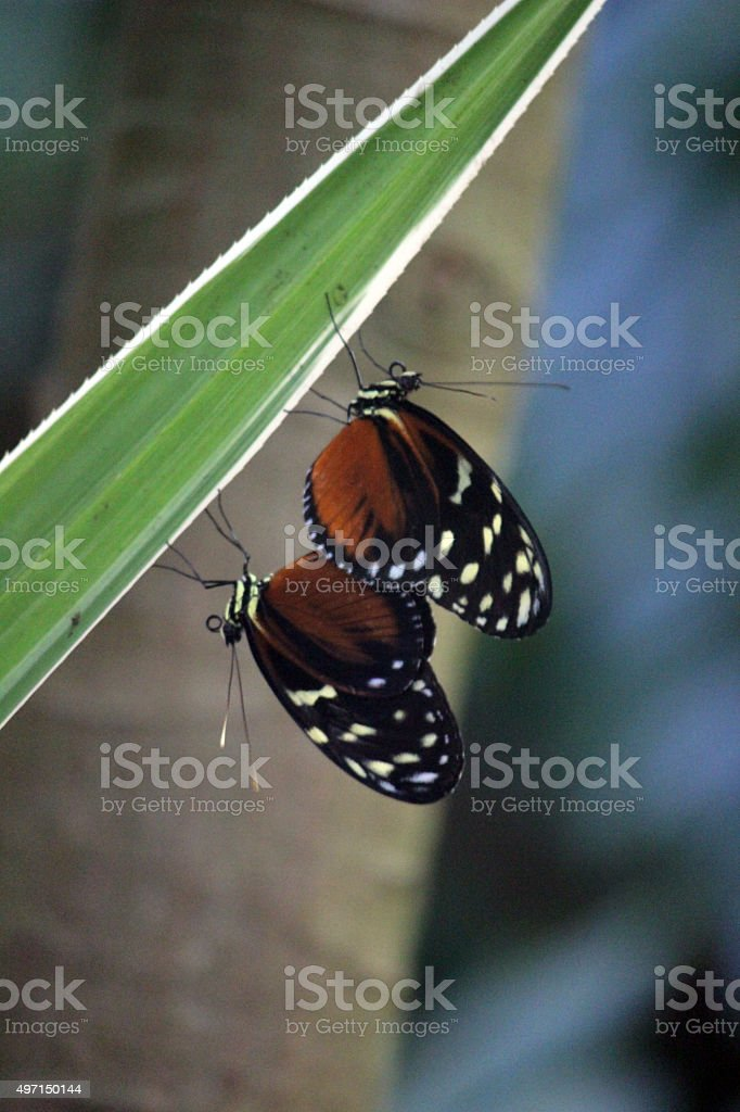 Close Up of Spotted Tiger Longwing Butterflies Mating stock photo
