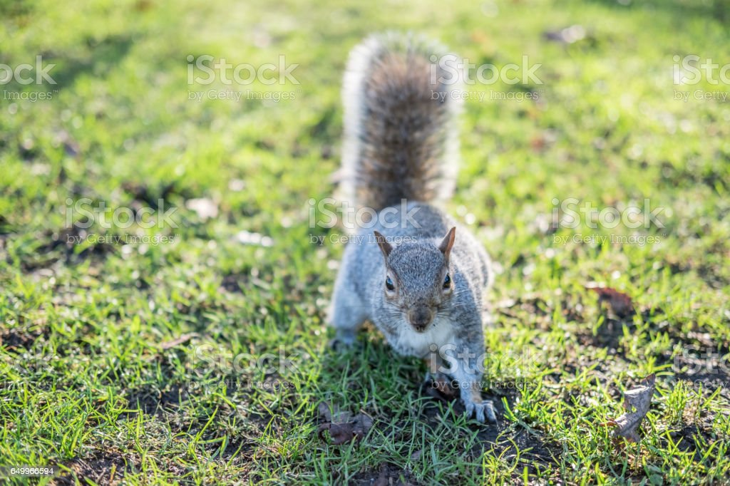 Close up of Squirrel in the park stock photo