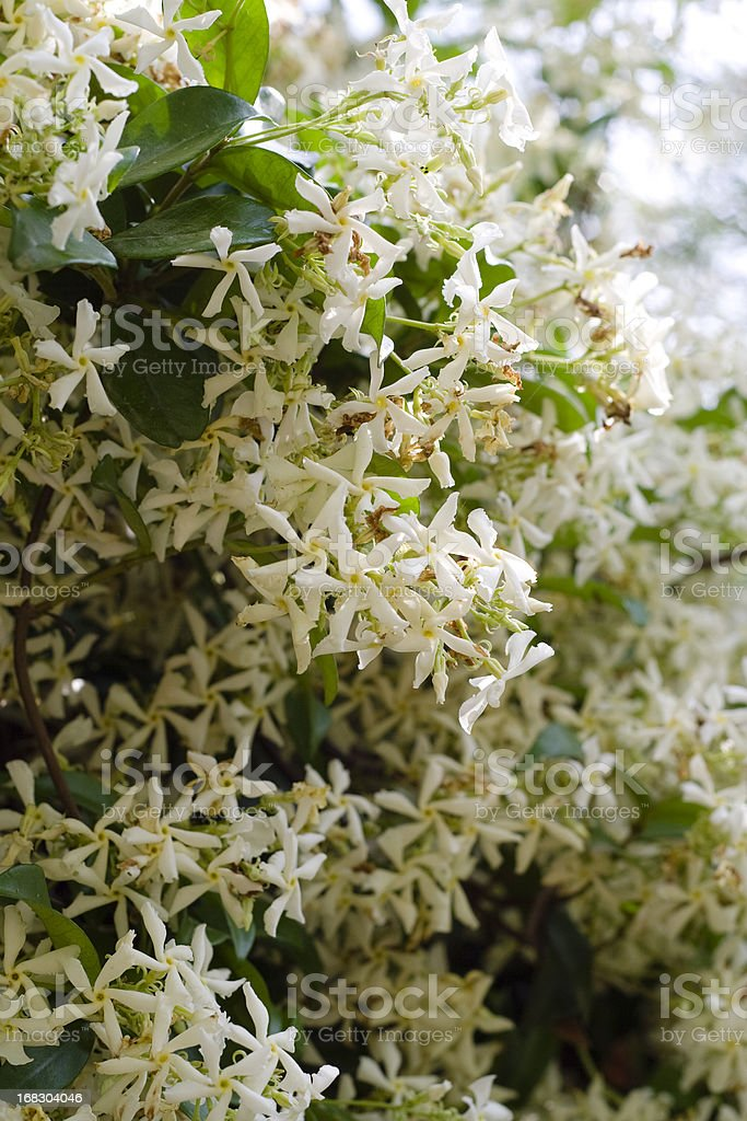 Close up of Star Jasmine plant royalty-free stock photo