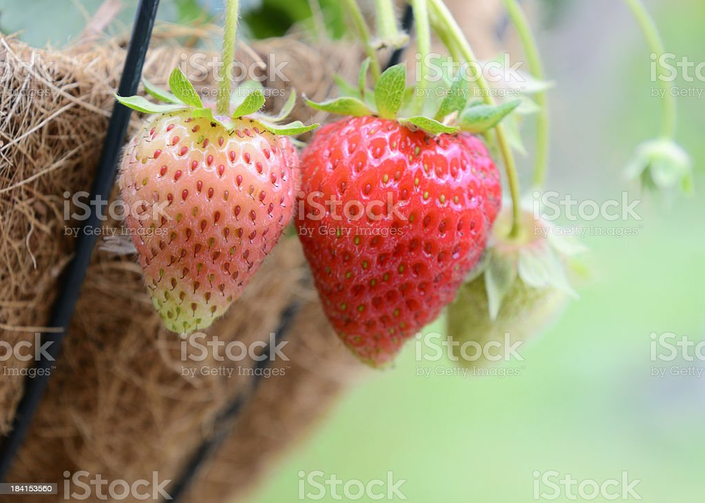 Close up of Strawberries stock photo