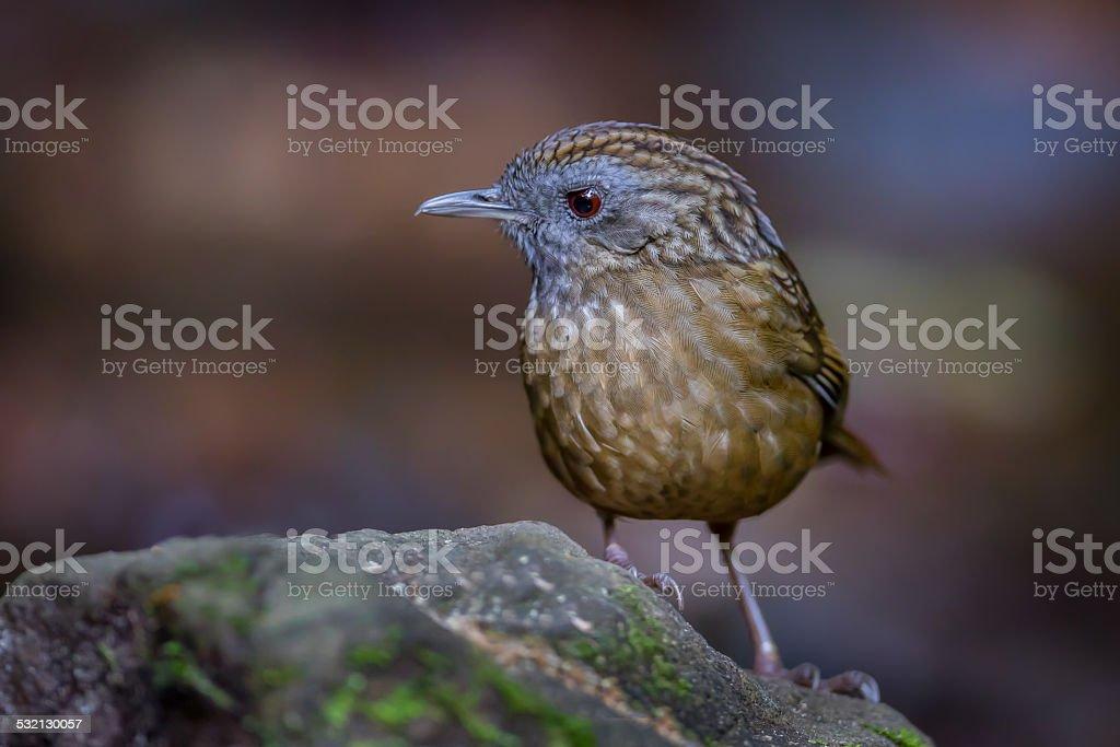 Close up of Streaked Wren Babbler (Napothera brevicaudata ) stock photo