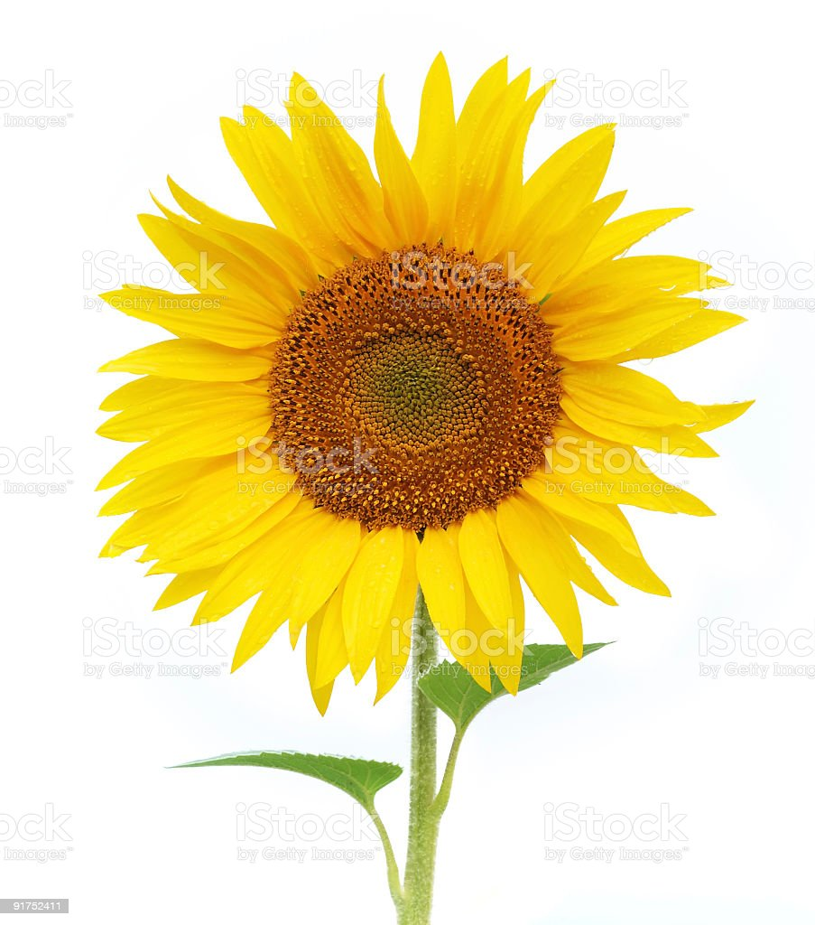 close up of Sunflower bloom on white background stock photo