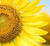 close up of sunflower flower