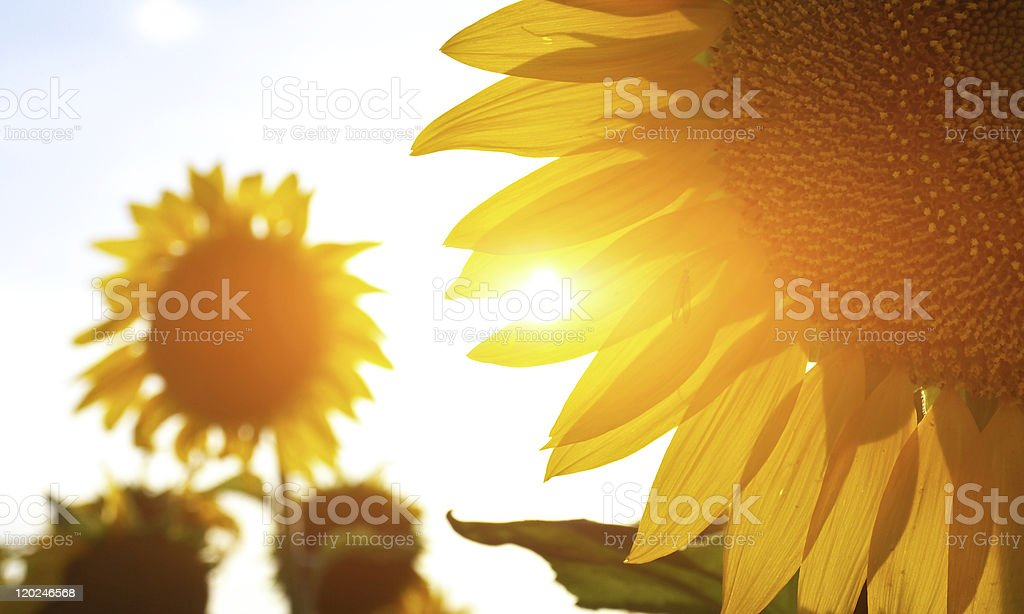 Close up of sunflowers with bright sun background royalty-free stock photo