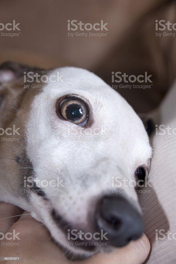 Close Up Of Surprised Whippet Upon Awakening royalty-free stock photo