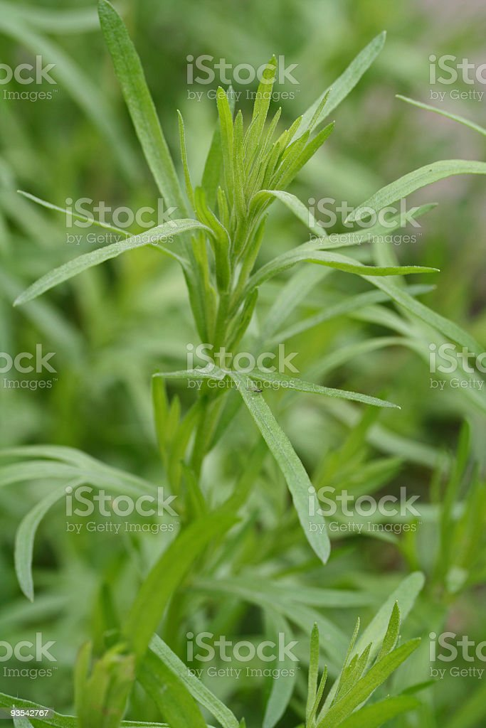 Close up of Tarragon plant in the field stock photo