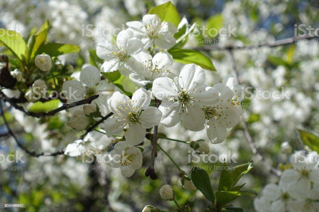 Close up of tender white cherry blossom stock photo