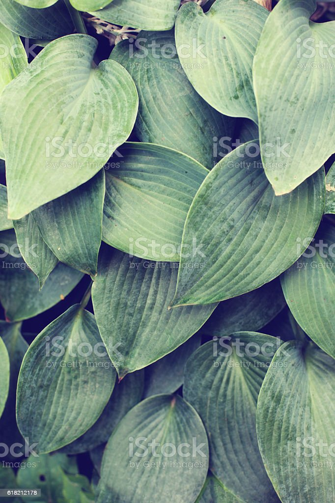 Close up of textured blue green hosta leaves stock photo