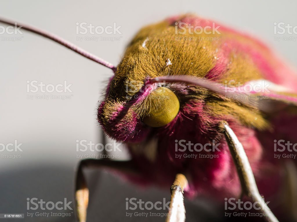 Close up of the Deilephila elpenor or Elephant Hawk-moth stock photo