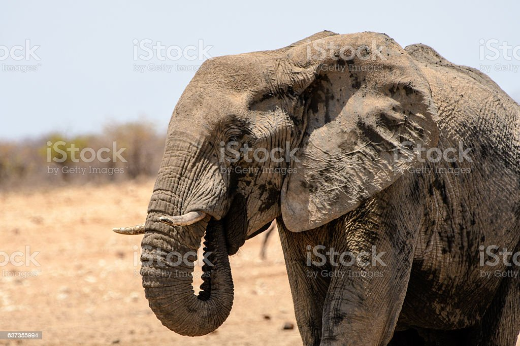 Close up of the face of an Elephant stock photo