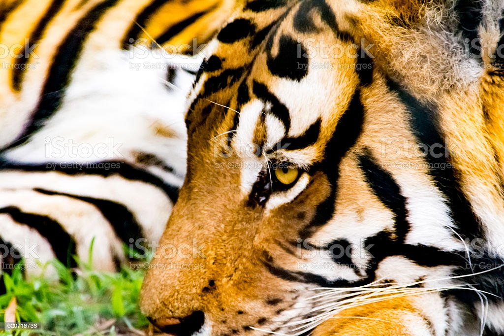 Close up of the face of Bengalian Tiger stock photo