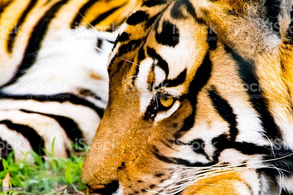 Close up of the face of Bengalian Tiger stock photo