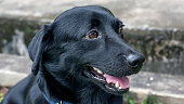 close up of the face of the black dog.