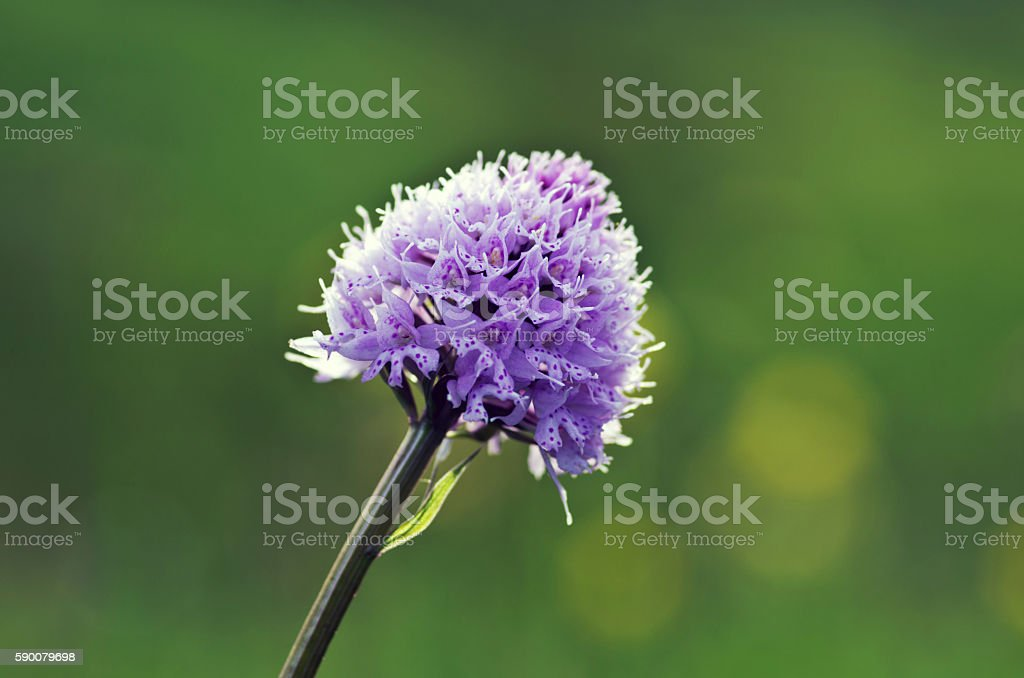 Close up of the flowers of some allium with butterfly stock photo