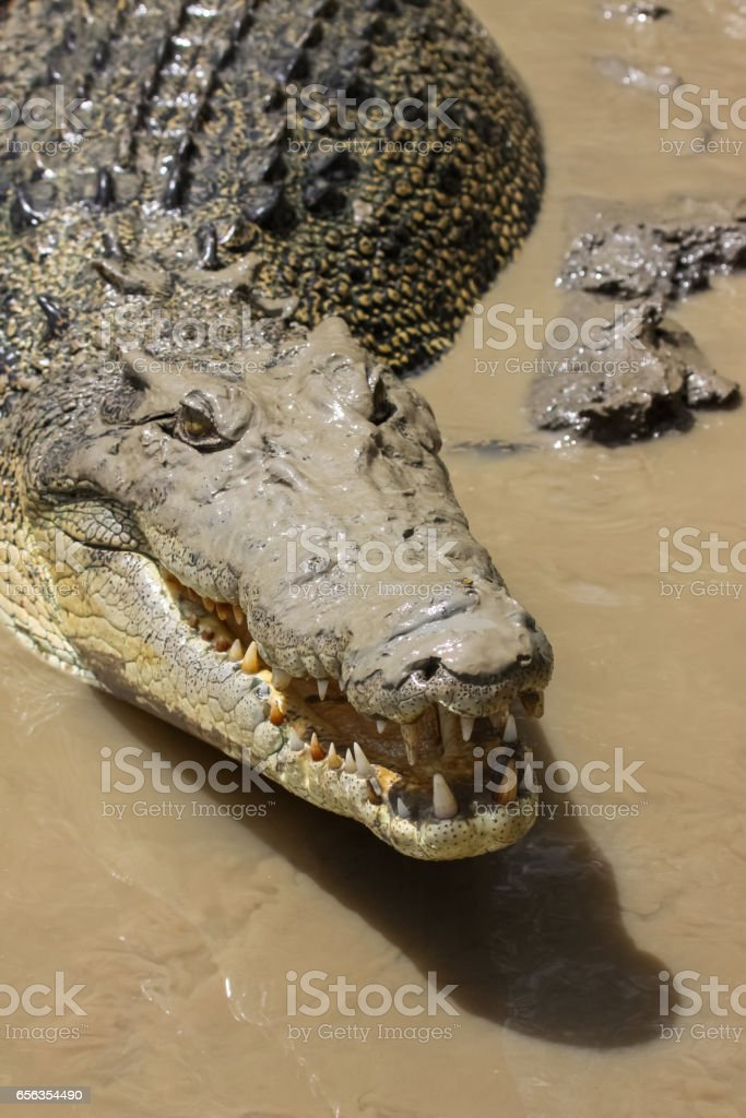 Close up of the head of a Saltwater crocodile floating on the river surface stock photo