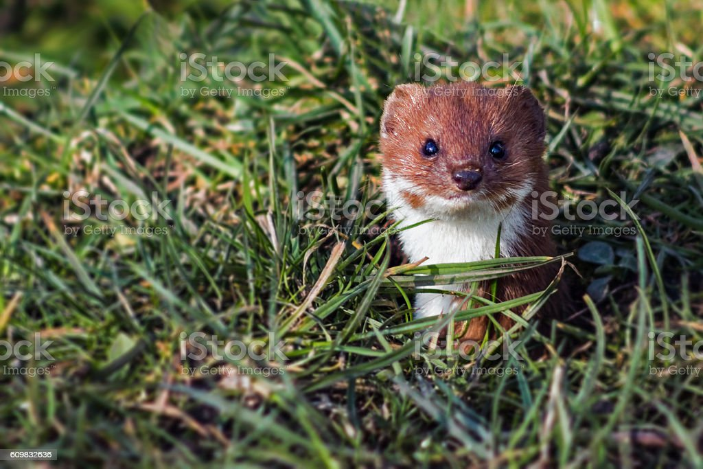 Close up of the head of a weasel. stock photo