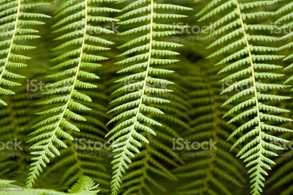 A close up of the leaves of a fern royalty-free stock photo