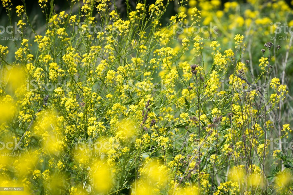 Close up of the oilseed rape in bloom stock photo