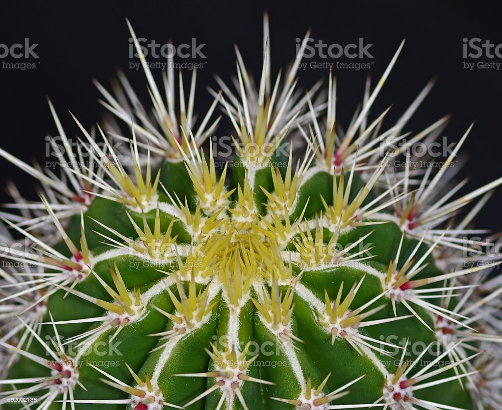 Close up of the top of a cactus stock photo