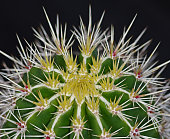 Close up of the top of a cactus