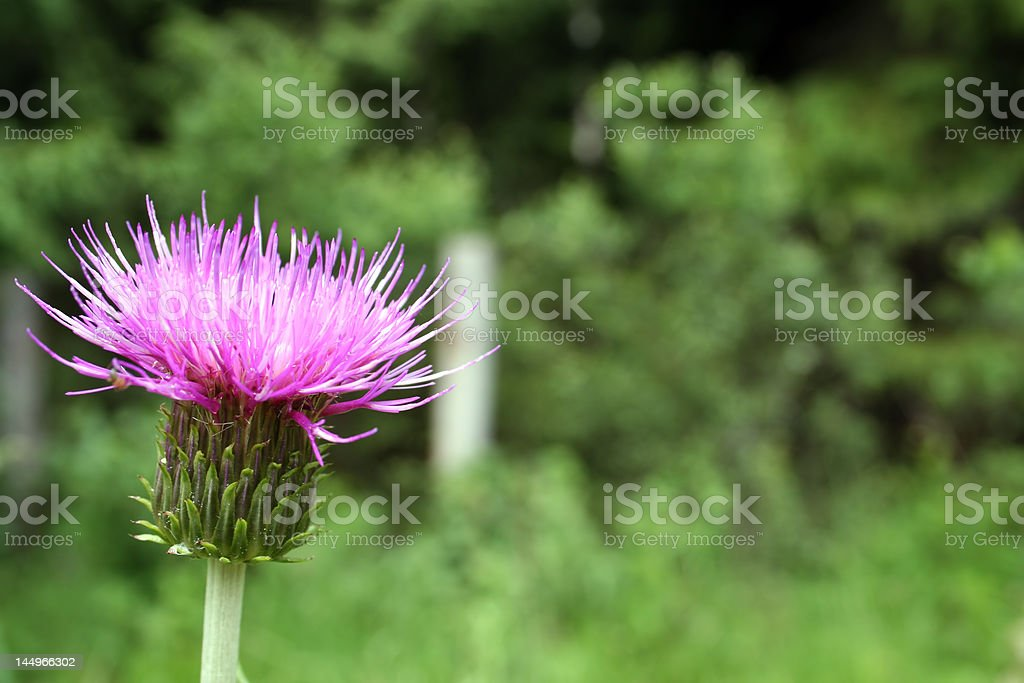 Close up of Thistle bud royalty-free stock photo