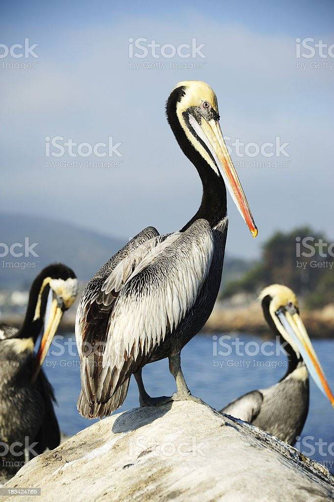 Close up of three pelicans on rock stock photo